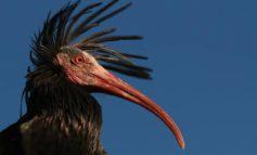 EARTH Verona ucciso Ibis Eremita