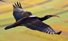 Il bracconaggio e la caccia sono il cancro per le biodiversità, ucciso il terzo ibis Eremita in meno di 40 giorni.