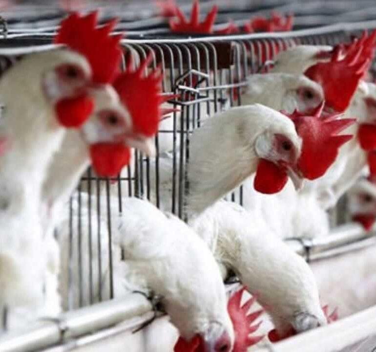 Influenza aviaria a Monzambano (VR): ordinanza della Regione Veneto con restrizioni per allevamenti di polli e volatili a Valeggio, Peschiera, Lazise, Castelnuovo, Sona, Sommacampagna e Villafranca