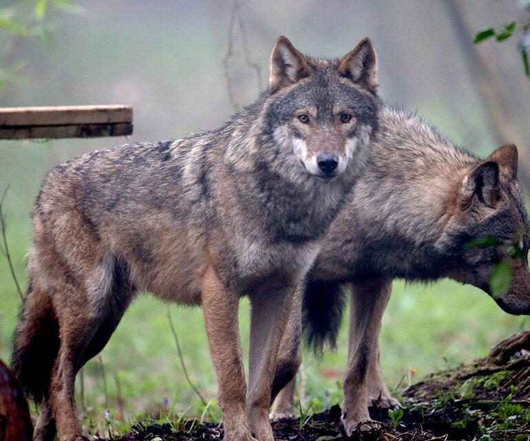 Presenza dei lupi in Veneto. Firmato protocollo d'intesa