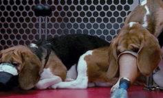 Vivisezione. Nel 2015 uccisi 37.546 animali negli esperimenti