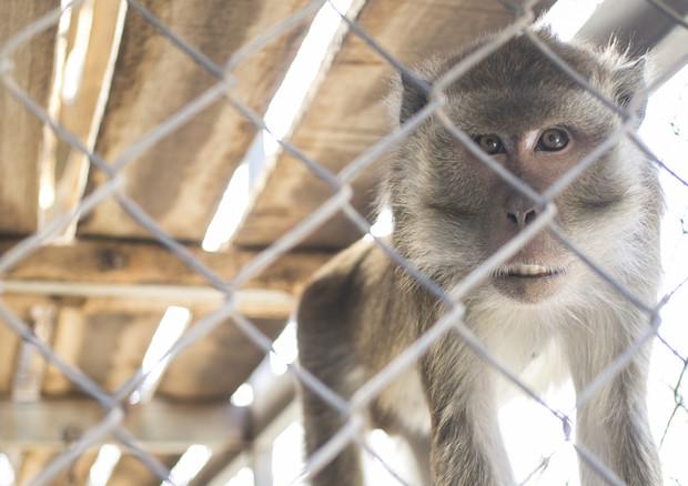 Volkswagen, Bmw e Daimler sotto accusa per test su scimmie