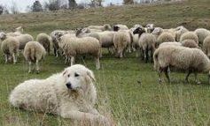 E' nata la pagina facebook sul cane da guardiania anti lupo