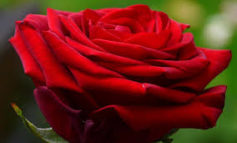#PremioRoma2019, torna il contest su Instagram per la rosa più bella