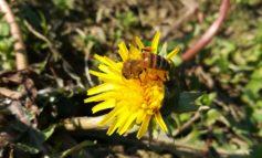 Clima. Coldiretti, per via del caldo, anche nel veronese le api sono già al lavoro
