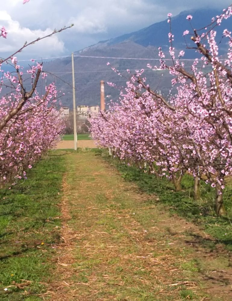 Maltempo: Coldiretti Verona, SOS gelo a rischio piante da frutto fiorite in anticipo e api