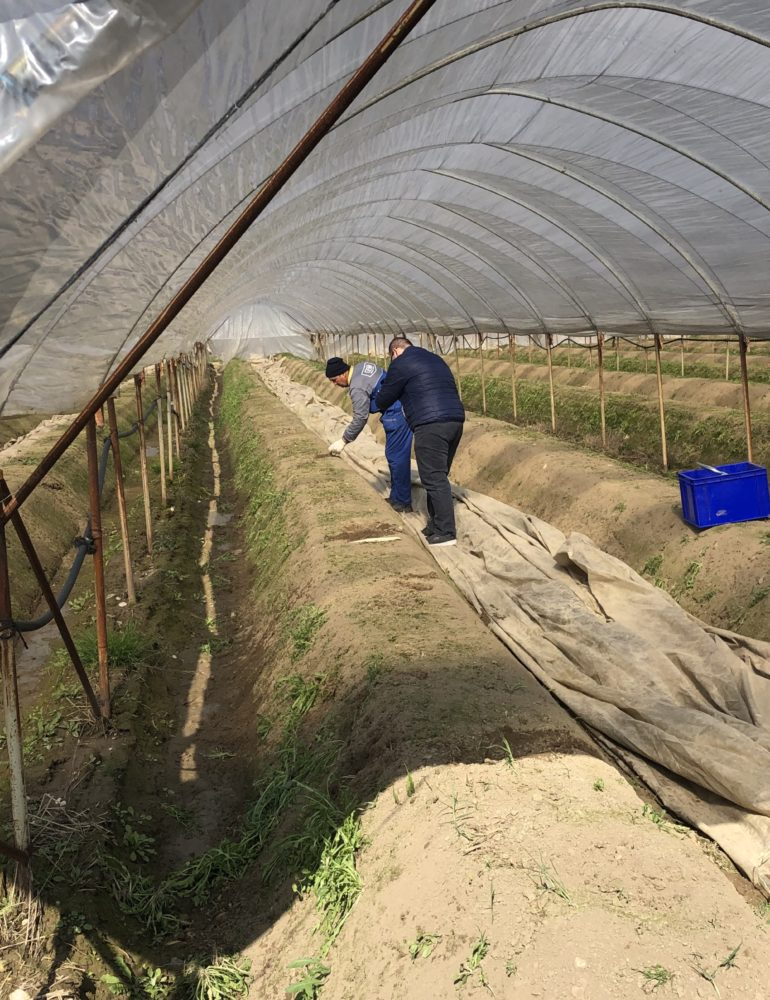 Stop a speculazioni su asparagi per emergenza Coronavirus. – 30% le quotazioni all'origine rispetto al 2019