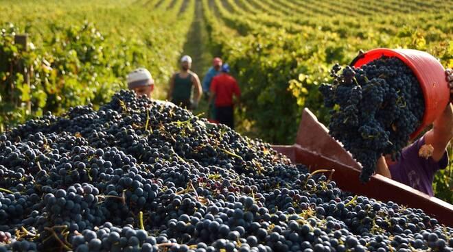 """Vendemmia 2020, Veneto stimata la prima regione per produzione. Presidente, """"Bravi i nostri produttori, in tempi di crisi per la pandemia tutta la viticoltura diventa eroica"""""""